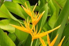 Heliconialatispatha, bloem in groen blad royalty-vrije stock fotografie