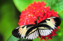 Heliconian butterfly Royalty Free Stock Photography