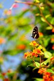 Heliconian butterfly and blurred background Royalty Free Stock Photography