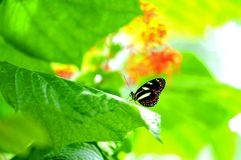 Heliconian butterfly on blurred background Royalty Free Stock Photos