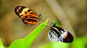 Heliconian & Ismenius butterflies face-off Royalty Free Stock Images