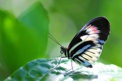 Heliconian, mariposa dominante del piano Fotos de archivo