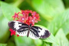 Heliconian, mariposa dominante del piano, la Florida foto de archivo