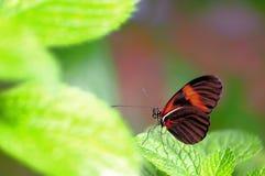 Heliconian, mariposa dominante del piano, la Florida del sur imagen de archivo
