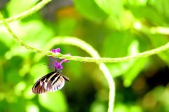Heliconian piano key butterfly feeding Stock Image