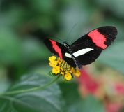 Heliconius Stock Photography