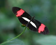 Heliconius 3. Black and red butterfly (genus: Heliconius) on a flower with green background stock photos