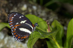Heliconius atthis Royalty Free Stock Photo
