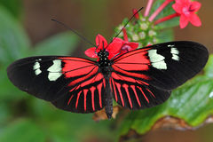 Heliconius Butterfly Royalty Free Stock Photos