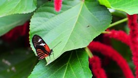 Heliconius butterfly Stock Images