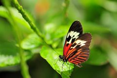 Heliconius butterfly Royalty Free Stock Photo