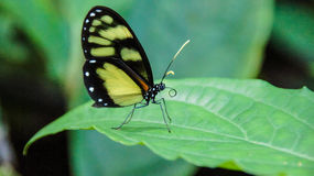 Heliconius Royalty Free Stock Photography