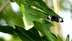 Heliconius butterfly. Is sitting on a leaf opening and closing it wings stock footage