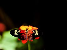 Heliconius butterfly feeding on Mexican sunflower Royalty Free Stock Photo