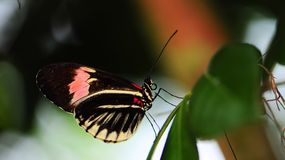 Heliconius butterfly on leaf royalty free stock photo
