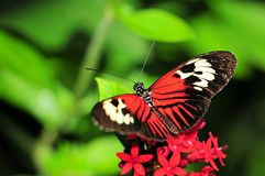 Heliconius butterfly on Pentas lanceolata flowers Stock Image