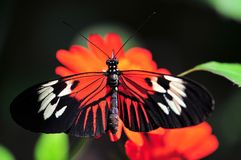 Heliconius butterfly standing on Mexican sunflower Royalty Free Stock Photo