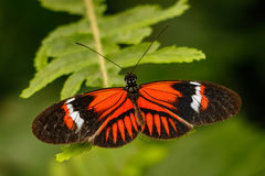 Heliconius butterfly. In town of Mindo, Ecuador royalty free stock images