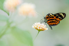 Heliconius  butterfly. The tropical colorful butterfly on the flower Stock Photography