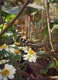 Heliconius, zebra longwing, perched on daisies in a tropical forest. Heliconius charithonia, zebra heliconian or zebra longwing, black butterfly with yellow Stock Photography