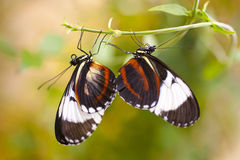 Heliconius cydno Stock Photography