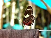 Heliconius doris 与棕色和橙色翼的美丽的五颜六色的蝴蝶在白色 Ithomiidae,狭窄翼 库存照片