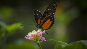 Heliconius Doris Butterfly Stock Photography