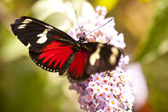 Heliconius doris Royalty Free Stock Photography