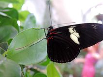 Heliconius Doris butterfly inside the Dubai Butterfly Garden. Heliconius Doris, commonly known the Doris from the family of Nymphalidae is a widespread species stock photography
