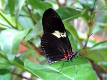 Heliconius Doris butterfly inside the Dubai Butterfly Garden. Heliconius Doris, commonly known the Doris from the family of Nymphalidae is a widespread species royalty free stock photo