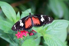 Heliconius-doris Doris Longwing-Schmetterling Stockfoto