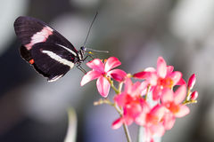 Heliconius Doris motyl na roślinie Zdjęcia Stock