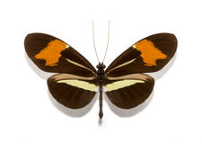 Heliconius erato butterflies Royalty Free Stock Image
