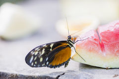 Heliconius erato Royalty Free Stock Photo