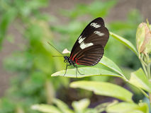 Heliconius erato notabilis. Red Postman butterfly, resting. Stock Photo