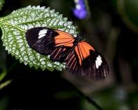 Heliconius erato reductimaculata - Small postman Royalty Free Stock Photo