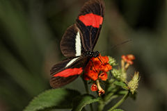 Heliconius erato Royalty Free Stock Photos