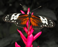 heliconius hecale бабочки Стоковая Фотография