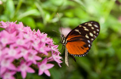 Heliconius hecale Obrazy Royalty Free