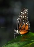 Heliconius Hecale Butterfly stock image