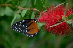 Heliconius hecale butterfly Royalty Free Stock Photography