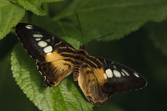 Heliconius hecale. Butterfly on a green leaf Royalty Free Stock Image