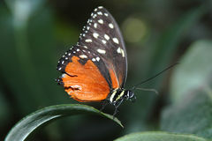 Heliconius hecale on leaf Royalty Free Stock Photography