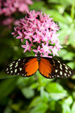 Heliconius hecale Royalty Free Stock Photos