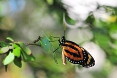 Heliconius ismenius butterfly Royalty Free Stock Images