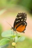 Heliconius ismenius clarescens Royalty Free Stock Images
