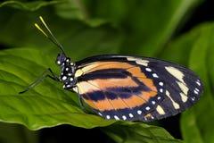 heliconius ismenius longwing的镶边老虎 图库摄影
