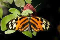 heliconius ismenius longwing的镶边老虎 免版税库存照片