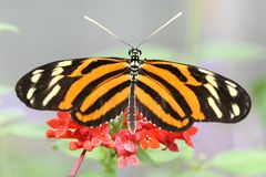 Heliconius Ismenius (Tiger ) Butterfly on Flower Royalty Free Stock Images