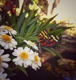 Heliconius longwing butterfly over daisies. A beautiful black and yellow/red stripped butterfly longwing over some white and yellow flowers daisy Royalty Free Stock Photography